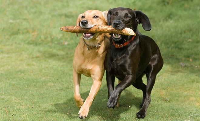 Játékos állatok, játszó kutyák